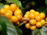 Желтый кофе